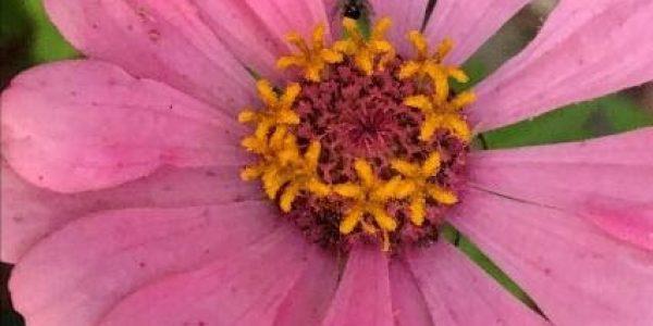 Janes flower